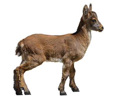 Iberian Capricorn, Mountain Goat, Baby, Capricorn