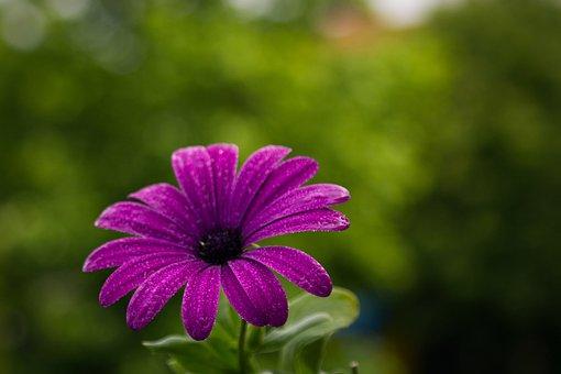Cape Marguerite, Flower, Wet, Dew, Purple Flower, Aster