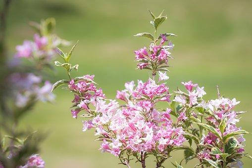 Weigela, Flowers, Branch, Pink Flowers, Petals, Bloom