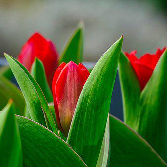 Tulips, Flowers, Red Tulips, Leaves, Flora, Blossom