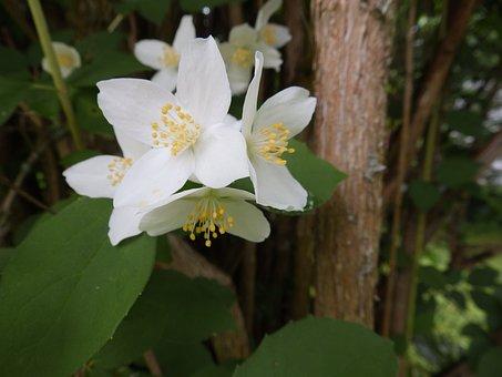Flowers, White Flowers, White Petals, Petals, Blossom