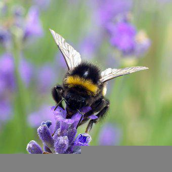 Bee, Bumblebee, Pollinate, Pollination, Insect