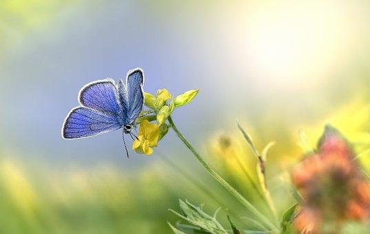 Mazarine Blue Butterfly, Butterfly, Flowers