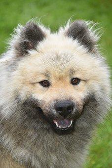 Dog, Pet, Eurasier, Canine, Animal, Fur, Snout, Mammal