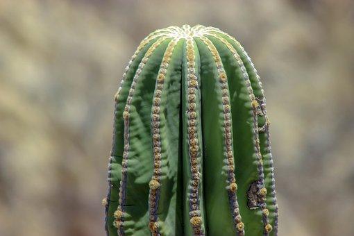 Cactus, Plant, Succulent, Flower, Flora, Botany