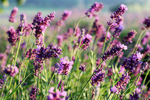 The Smell Of, Lavender, Flowers, Lavender Fields