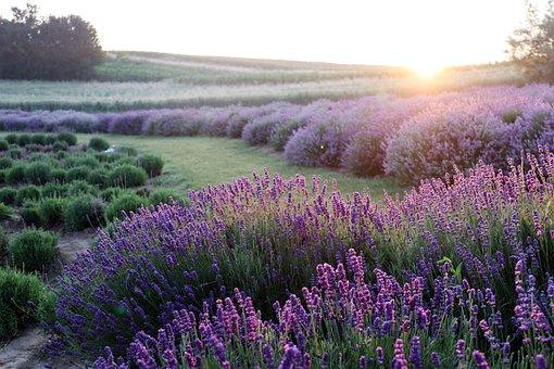 Lavender, Flowers, Field, Sunrise, Purple Flowers