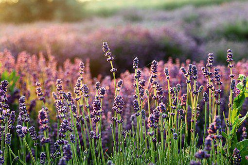 Lavender, The Smell Of, Flowers, Lavender Fields