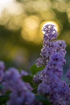 Lilacs, Purple Flowers, Inflorescence, Bush, Bloom