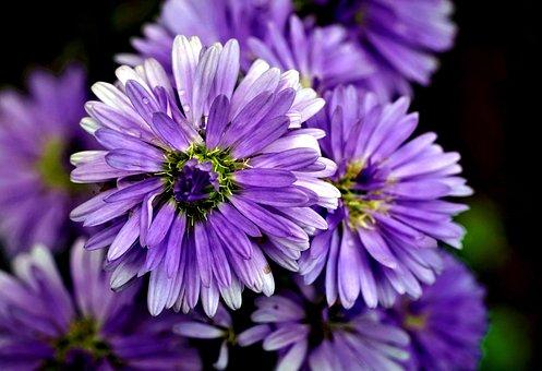 Italian Aster, Flowers, Plant, Aster, Purple Flowers
