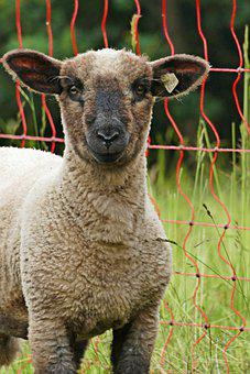 Lamb, Sheep, Wool, Rural, Grass, Cute, Mammal, Meadow
