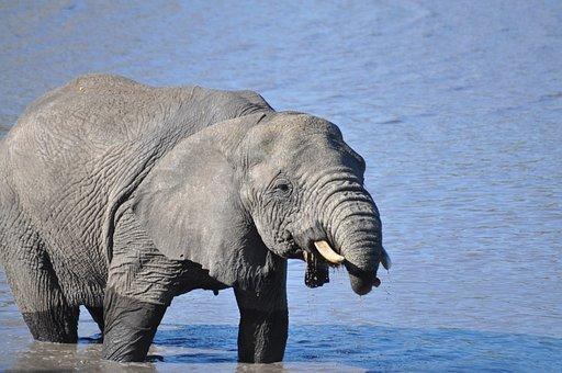 Elephant, Animal, Mammal, Tusk, Pachyderm, Large Animal