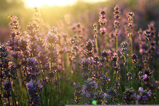 Sunrise, Lavender, The Smell Of, Flowers
