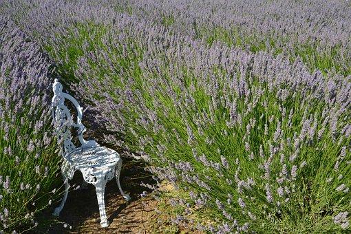 Lavenders, Flowers, Lavender Field, Chair