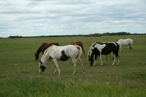 Horses, Animals, Equines, Grazing, Graze, Mammals, Farm