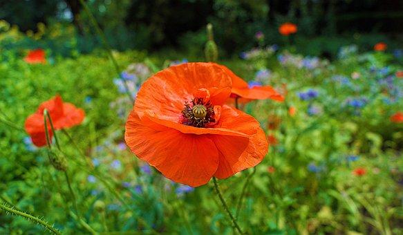Poppy, Flower, Orange Poppy, Orange Flower, Petals