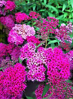 Flowers, Red Spar, Red, Pink, Bush, Plant, Summer