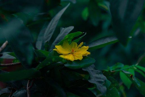 Yellow Mai Flower, Flower, Plant