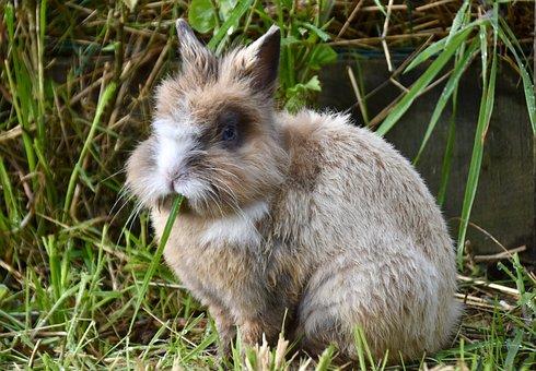 Dwarf Rabbit, Rabbit, Sitting, Rodent, Furry