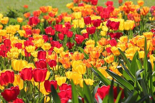 Tulips, Flowers, Garden, Field Of Tulips, Bloom