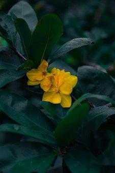 Yellow Mai Flower, Flowers, Plant