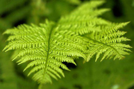 Fern, Leaves, Plant, Foliage, Greenery, Forest, Nature