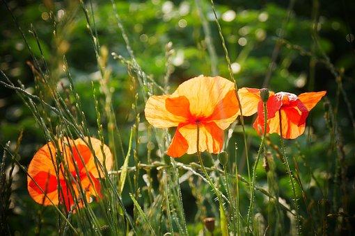 Flowers, Poppies, Meadow, Field, Petals, Flora, Botany