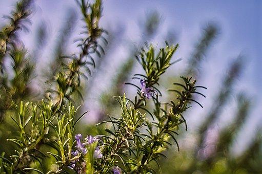 Lavender, Leaves, Plants, Flowers, Purple Flowers