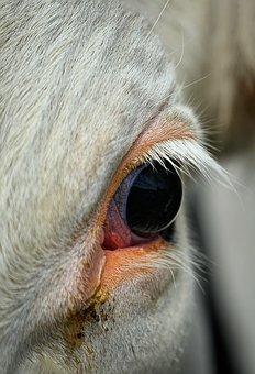 Cow, Eye, Eyelashes, Mammal, Animal, Cows Eye