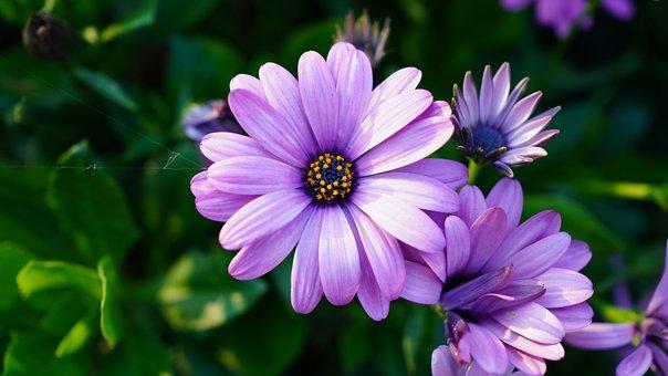 Asters, Flowers, Purple Flowers, Petals, Purple Petals