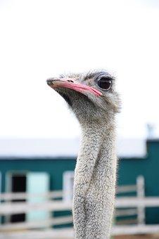Ostrich, Bird, Animal, Beak, Bill, Eye, Head