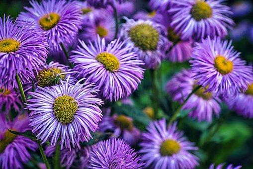 Aster, Flowers, Plants, Purple Flowers, Petals, Bloom