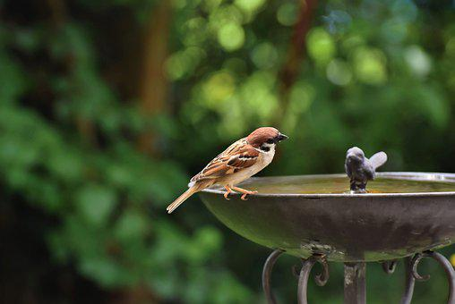 Sparrow, Bird, Bird Bath, Animal, Songbird, Wildlife