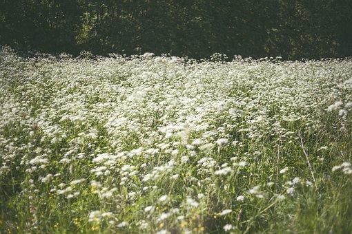 Summer, Meadow, Nature, White, Green, Grass, Field