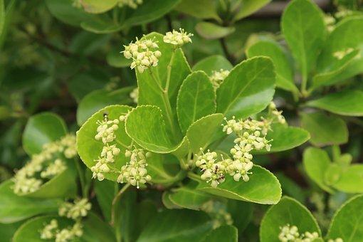 Sweet Viburnum, Flowers, Smal Flowers, Bloom, Blossom