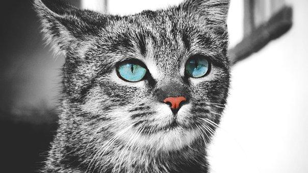 Cat, Pet, Feline, Animal, Fur, Kitty, Cat's Eyes