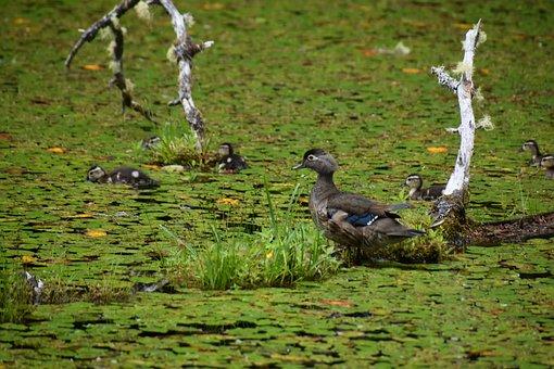 Ducks, Birds, Lake, Ducklings, Waterfowls, Water Birds