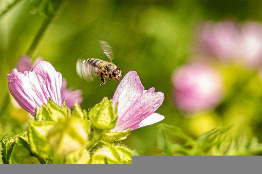 Bee, Insect, Flight, Flower, Winged Insect, Wings