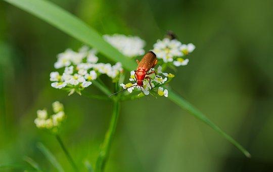 Red Soldier Beetle, Beetle, Flowers, Hogweed