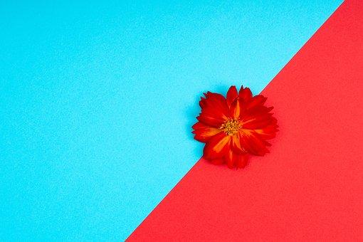 Flower, Minimalist, Background, Sulfur Cosmos, Bloom