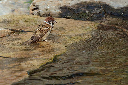 Sparrow, Springs, Hot, Paddle, Cool, Feather, Bathing