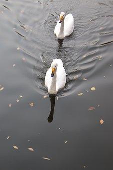 Swans, Birds, Pond, Water Birds, Aquatic Birds