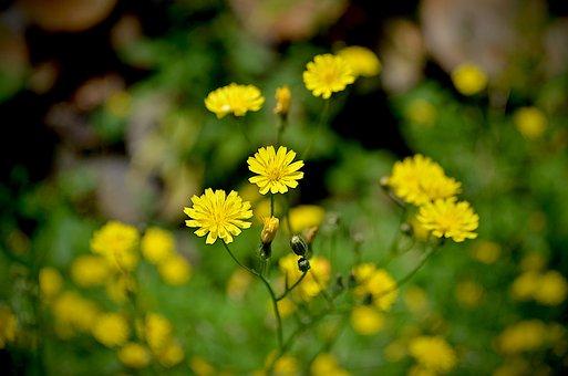 Wiesen-pippau, Crepis Biennis, Flower, Yellow Flowers