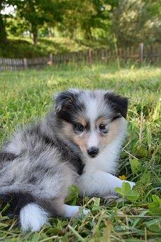 Puppy, Sheltie, Dog, Pet, Canine, Animal, Lying, Fur