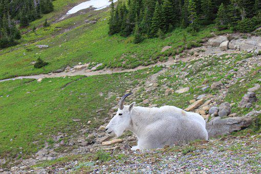Mountain Goat, Goat, Animal, Wildlife