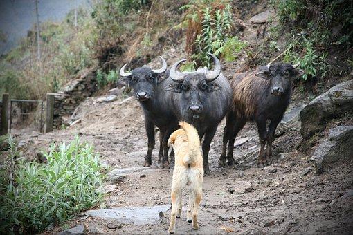 Dog, Water Buffalos, Rural, Trail, Animals, Livestock