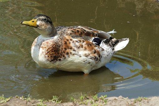 Silver Appleyard Duck, Duck, Bird, Waterfowl