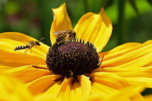 Honeybees, Bees, Flower, Yellow Coneflower, Insect