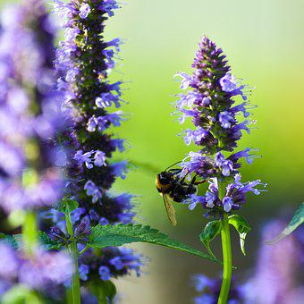 Bee, Insect, Pollinate, Pollination, Flower, Lavender