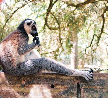 Lemur, Animal, Wildlife, Primate, Mammal, Madagascar